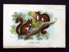 Lloyd 1890's Antique Print. Common Squirrel